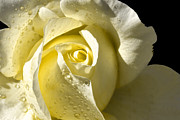Sparkling Rose Metal Prints - Delightful Yellow Rose With Dew Metal Print by Tracie Kaska