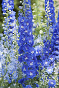 Blue Delphinium Photos - Delphinim in Bloom by Maria L Salata