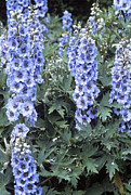 Larkspur Photos - Delphinium blue Dawn by Adrian Thomas