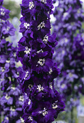 Blue Delphinium Photos - Delphinium chelsea Star by Adrian Thomas