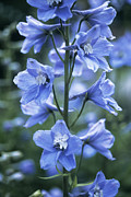 Blue Delphinium Photos - Delphinium (delphinium Belladonna Group) by Maxine Adcock