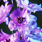 Blue Delphinium Photos - Delphinium Flowers (delphinium Sp.) by Johnny Greig