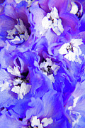 Blue Delphinium Framed Prints - Delphinium Flowers Framed Print by Julia Hiebaum