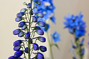 Blue Delphinium Framed Prints - Delphinium  Framed Print by Heidi Smith