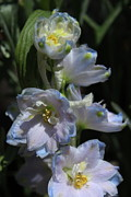 Blue Delphinium Photos - Delphinium by Marjorie Imbeau