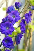 Angiosperms Framed Prints - Delphinium pagans Purple Framed Print by Maria Mosolova