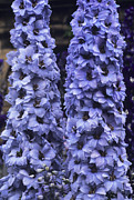 Blue Delphinium Photos - Delphinium spindrift by Adrian Thomas