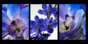Blue Delphinium Photos - Delphinium Study by Lauren Radke