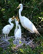 Egrets Framed Prints - Demanding Framed Print by LaMarre Labadie