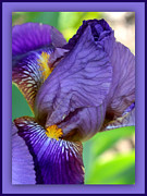 Color Purple Framed Prints - Demure Iris with Purple Border Framed Print by Carol Groenen