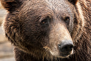 Photogaph Art - Denali Brown Bear by Josh Whalen