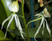 Dendrobium Photos - Dendrobium Orchid by Kenneth Albin