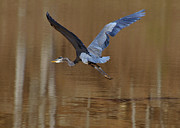 Crane Photos - Departing Great Blue Heron  - c7642h by Paul Lyndon Phillips