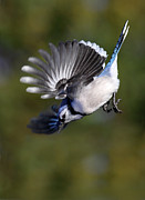 Bluejay Metal Prints - Descent Metal Print by Gary  Fairhead