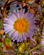 Aster  Framed Prints - Desert Aster Framed Print by David Salter