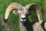 Bighorn Sheep Posters - Desert Bighorn Sheep Poster by Julie Niemela