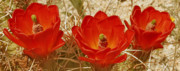 Vivid Digital Art - Desert Blooms by Ben and Raisa Gertsberg