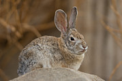 Desert Dome Photos - Desert Cottontail Rabbits by Joel Sartore
