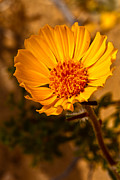 Arizona Photography Prints - Desert Dandelion II Print by Robert Bales