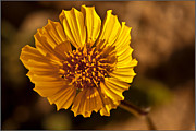 Arizona Photography Posters - Desert Dandelion Poster by Robert Bales