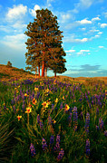 Lupine Framed Prints - Desert Pines Meadow Framed Print by Mike  Dawson
