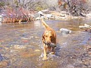 Golden Settings Pet Photography Photos - Desert Rock Diving by Kara Kincade