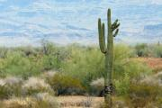 Landsape Prints - Desert Scene with Saugro Catcus Print by Linda Phelps