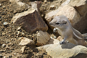 Southern California Photo Originals - Desert Squirrel 1 by Jessica Velasco