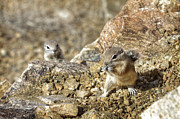 Southern California Photo Originals - Desert Squirrels by Jessica Velasco