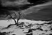 Gypsum Framed Prints - desert tree in White Sands bw Framed Print by Ralf Kaiser