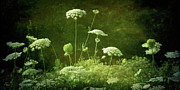 Queen Annes Lace Photos - DEsprit II by Amy Tyler