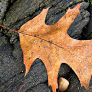 Peter J Sucy Metal Prints - Detail Oak Leaf on the Rocks  Metal Print by Peter J Sucy