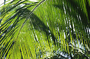 New Britain Prints - Detail Of A Palm Frond Print by Klaus Nigge