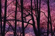 Chromatic Contrasts Prints - Detail Of Bare Trees Silhouetted Print by Mattias Klum