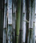 Green Day Framed Prints - Detail Of Green Bamboo In Bamboo Park Framed Print by Axiom Photographic