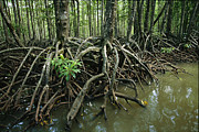 Tree Roots Photo Posters - Detail Of Mangrove Roots At The Waters Poster by Tim Laman