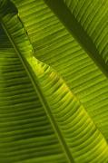 Green Day Art - Detail Of Palm Tree Barbados by Axiom Photographic