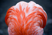 Flamingos Art - Detail Of The Back Of A Captive by Tim Laman