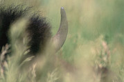 Bison Photos - Detail Of The Horn And Top Of A Bisons by Annie Griffiths