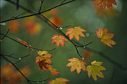Vine Leaves Posters - Detail Of Vine Maple Leaves In Autumn Poster by Melissa Farlow