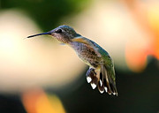 Hummingbird In Flight Posters - Determined Hummingbird Poster by Carol Groenen