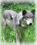 Beauty Of Wolves Prints - Determined Wolf Print by Debra     Vatalaro