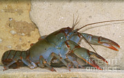Aquatic Life Framed Prints - Devil Crayfish Framed Print by Dante Fenolio