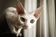 Domestic Animals Posters - Devon Rex Cat Looking At Camera Poster by Troydays