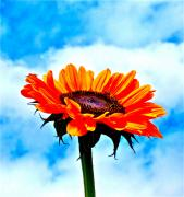 Sunflower Photograph Posters - Devotion Poster by Gwyn Newcombe