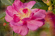 Camellia Photo Metal Prints - Dew-Drenched Camellia with Ladybird Metal Print by Bonnie Barry