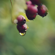 Red Fruit Photos - Dew Dripping From Berries by Kirstin Mckee