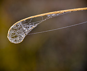Florida Nature Photography Posters - Dew Drop In Poster by Carolyn Marshall