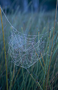 Trapeze Spider Prints - Dew Drops Cling To A Spider Web Print by Jason Edwards
