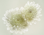 Chrysanthemum Art - Dew Drops On White Chrisantemus by Flower photography by Viorica Maghetiu